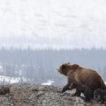 Bear Family sm